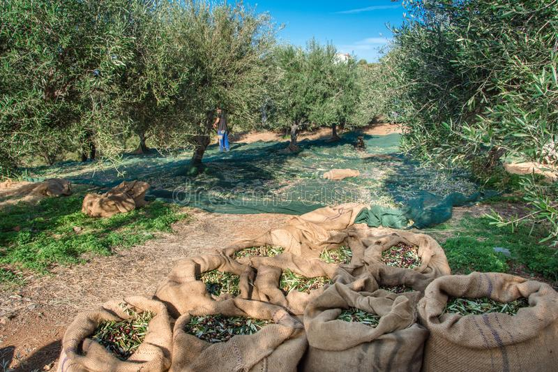 Fresh olives harvesting from agriculturists in a field of olive trees for extra virgin olive oil production. royalty free stock photography