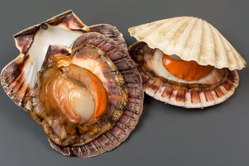 Fresh open shell scallops on gray stock image