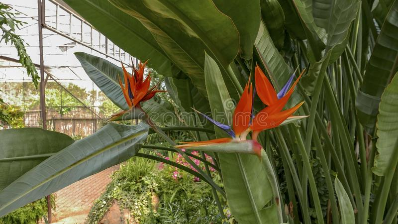 Fresh orange bird of paradise flower bunch in daytime in nature for passion, relaxation, travel, season, time, holiday, agricultur. E and beauty concept royalty free stock photography