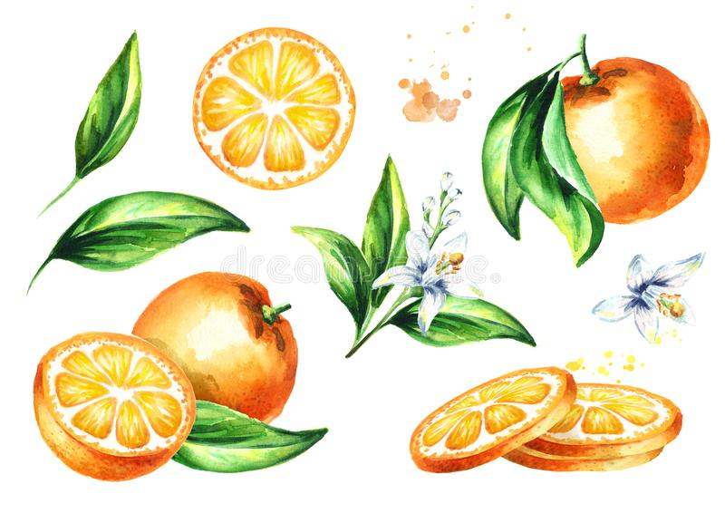 Fresh Orange compositions set. Watercolor hand drawn illustration, isolated on white background.  vector illustration
