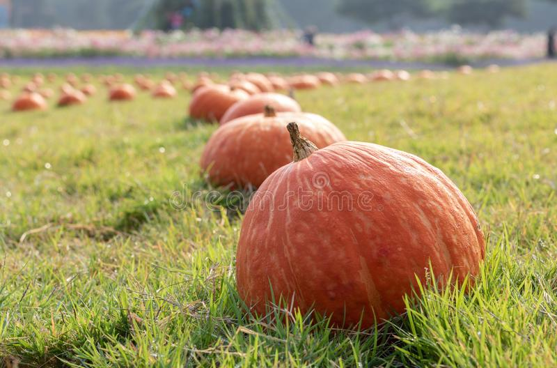 Fresh orange pumpkin with dew drop on the green grass royalty free stock images