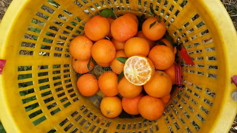Fresh oranges very sweet. Taiwan, basket royalty free stock photo