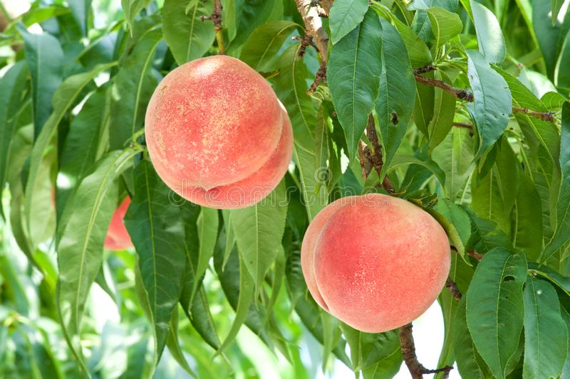 Fresh orchard peaches. stock images