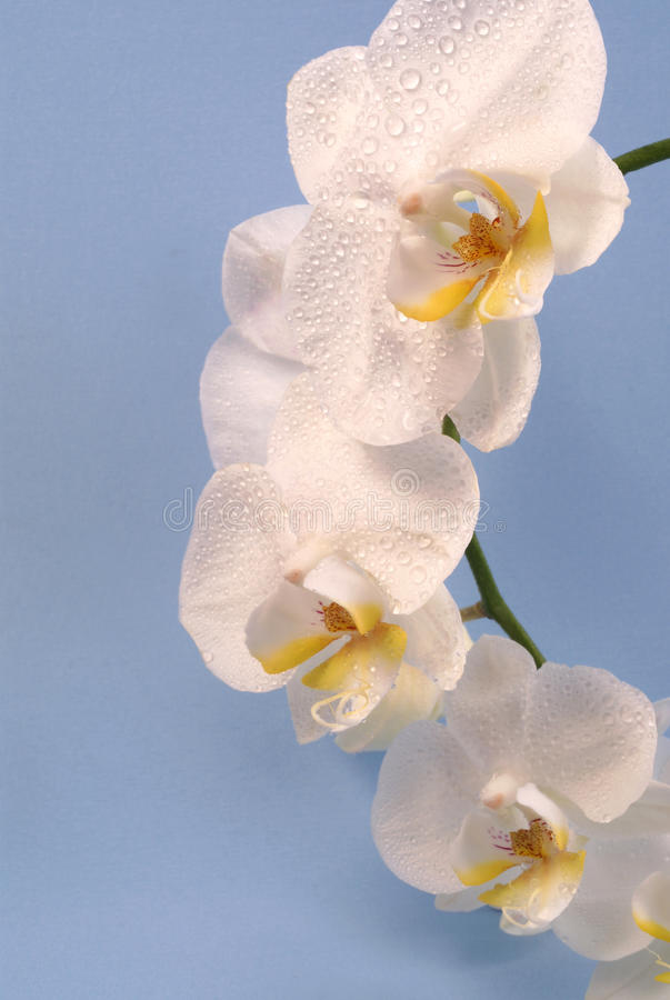 Fresh Orchid Royalty Free Stock Image