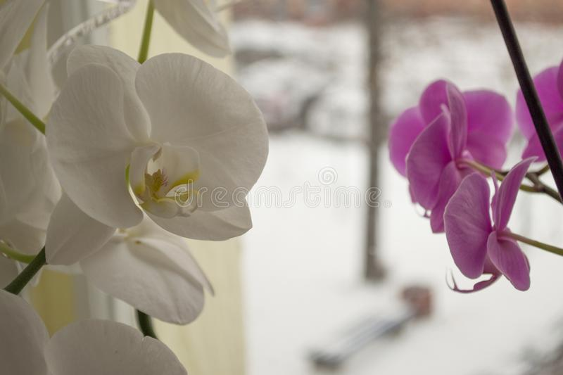 Fresh orchid in macro photo royalty free stock photos