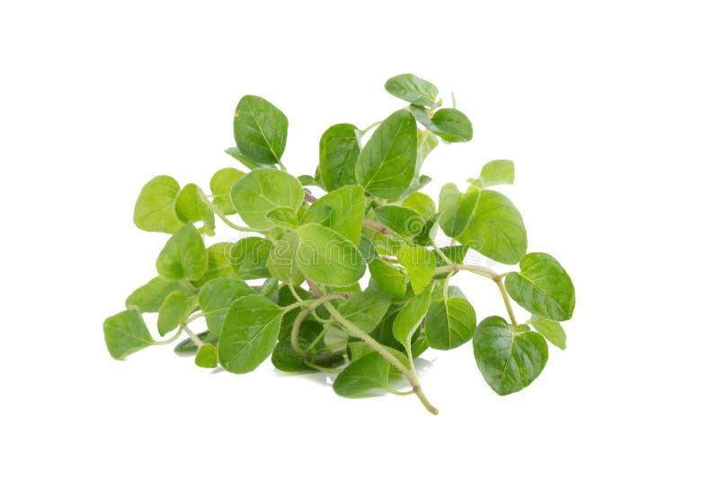 Fresh Oregano herb on white background. Fresh Oregano herb on white background royalty free stock image