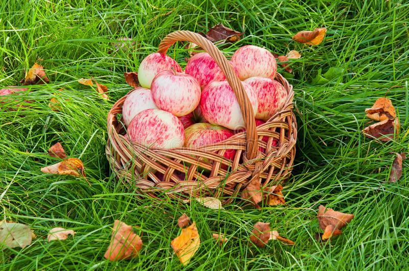 Fresh organic apples in the basket on the grass.  royalty free stock images