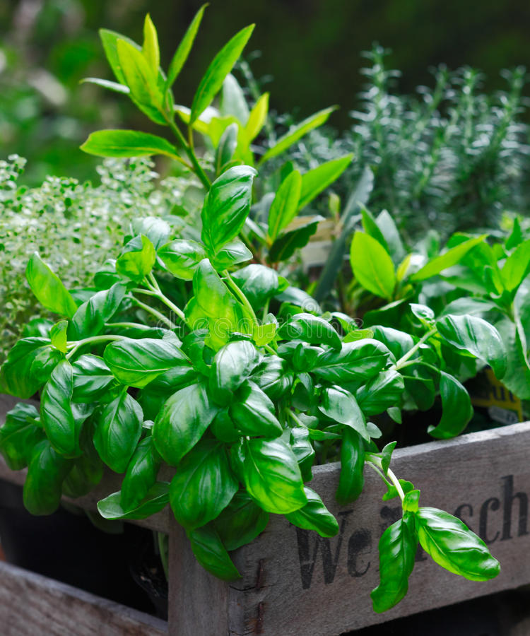Download Fresh organic basil stock image. Image of organic, garth - 24890519