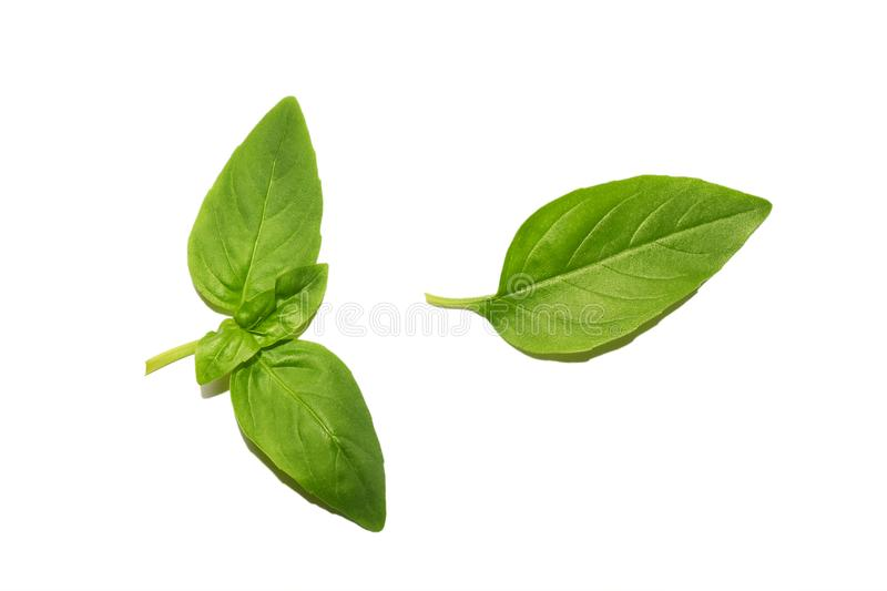 Fresh organic basil leaves isolated on white background, top view. Spice green leaf close-up. royalty free stock image