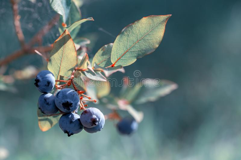 Fresh Organic Blueberries on the bush, close up, tinted effect, color year 2020 classic blue. Fresh Organic Blueberries on the bush, close up, tinted effect stock photos