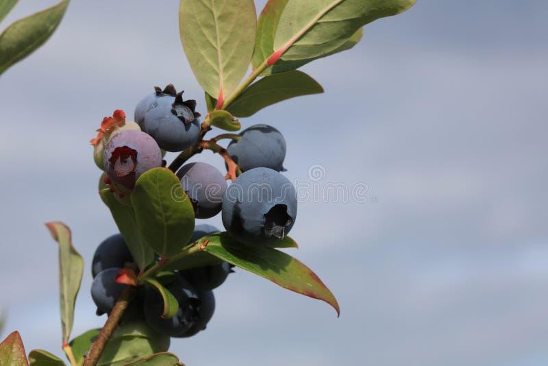 Fresh organic Blueberries on the Bush stock images