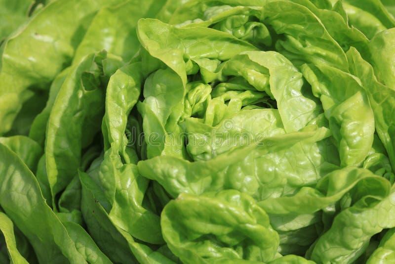Fresh organic Butterhead Lettuce on the Field stock photo