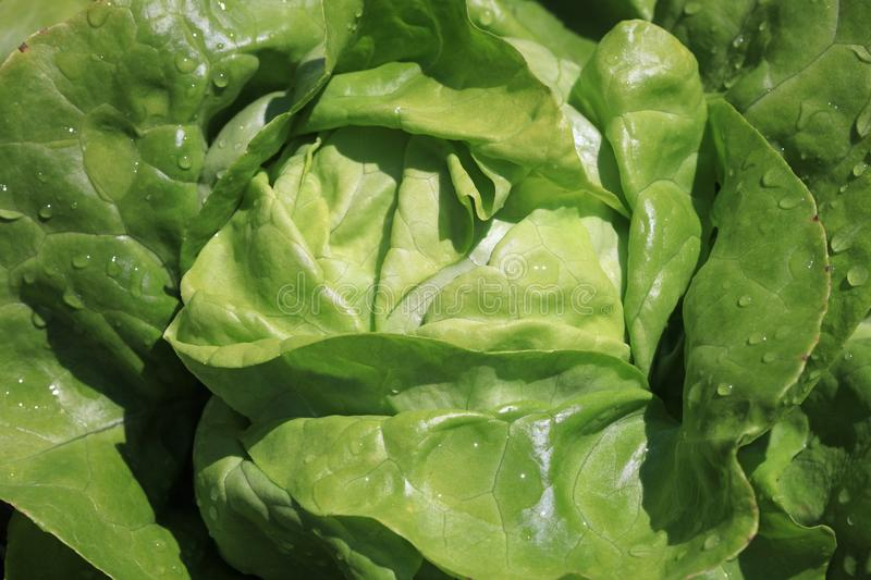 Fresh organic Butterhead Lettuce with Raindrops royalty free stock photography