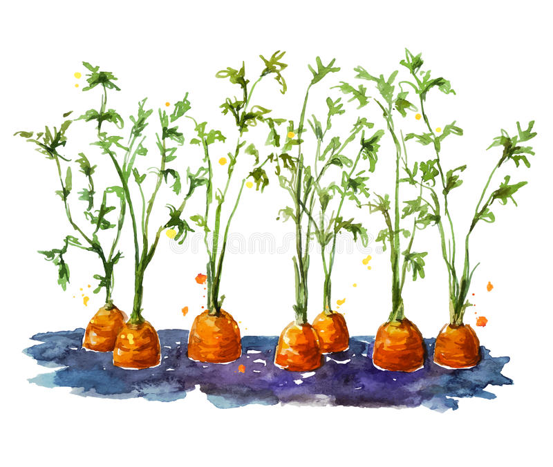 Fresh organic carrots growing in soil. Watecolor. Hand painted. Vector illustration royalty free illustration
