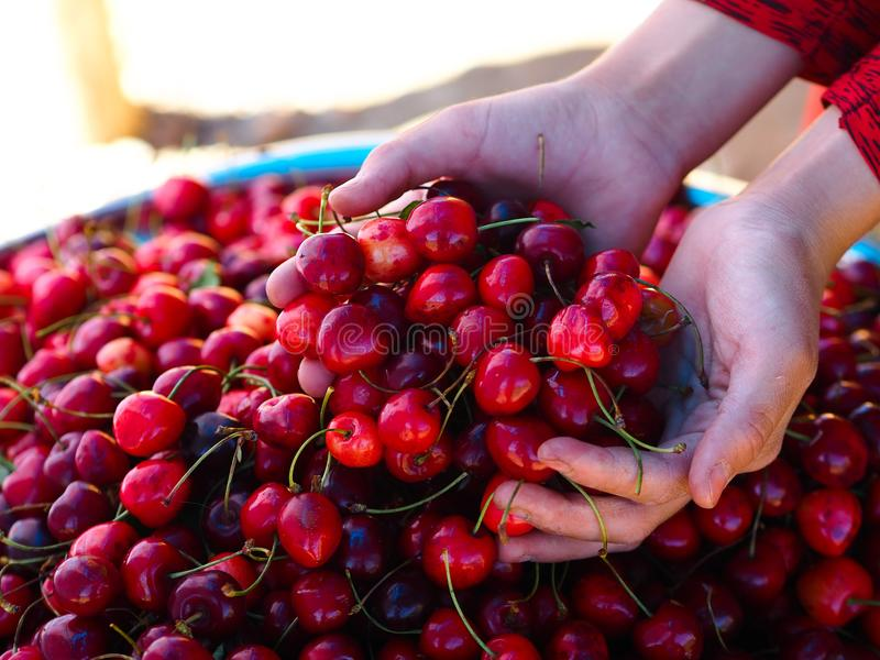 Fresh organic cherries sold in the market. Salesman holding cherries in hand and selling them.  stock photography