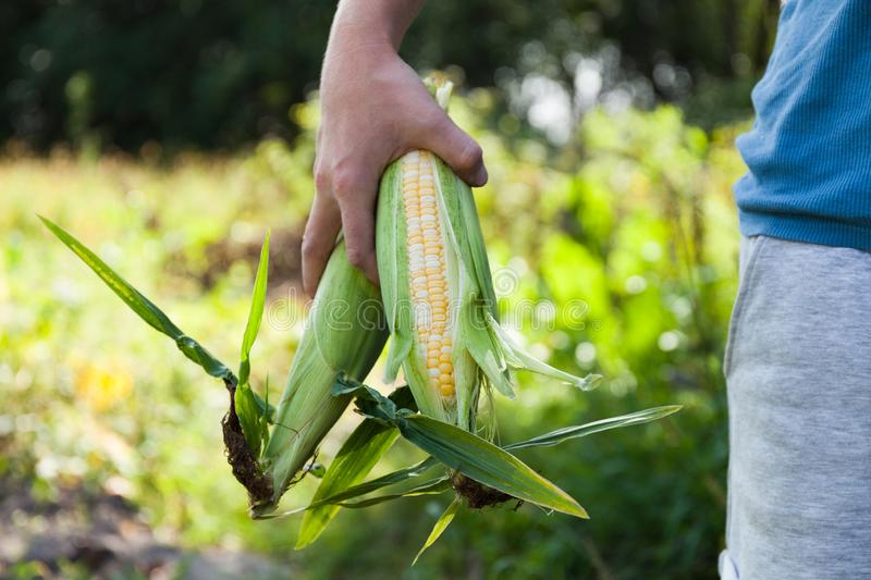 Fresh organic corn, ripe agriculture food.  royalty free stock image