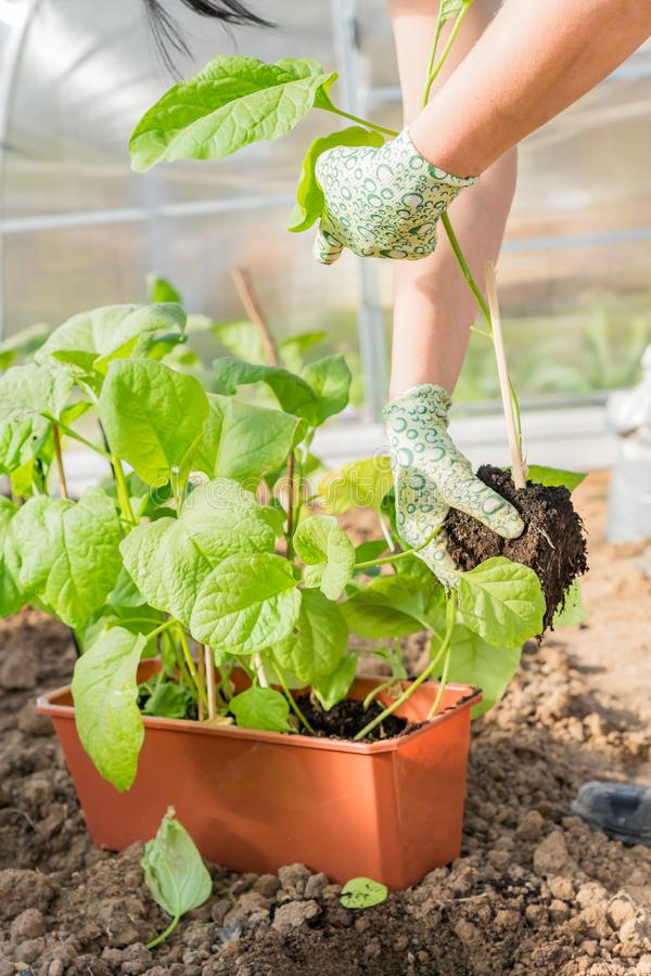 Fresh organic eggplant aubergine.The cultivation of Eggplant in the greenhouse.  royalty free stock image