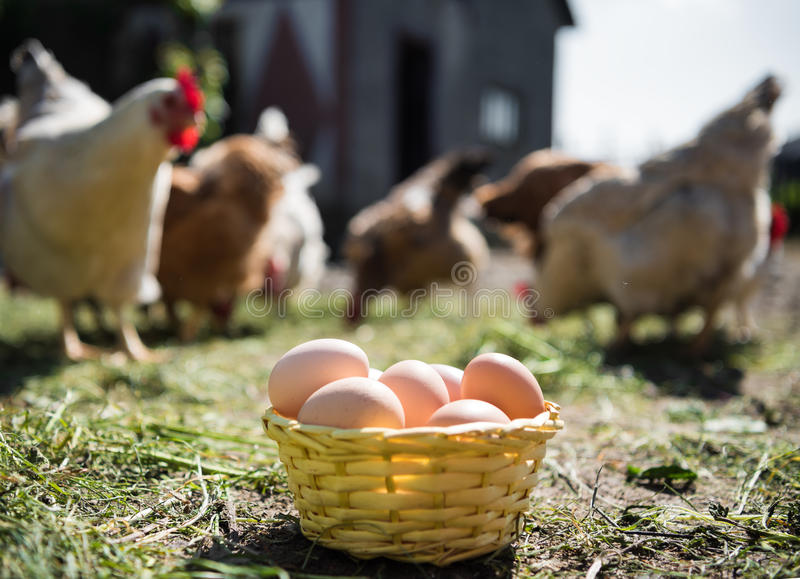 Fresh organic eggs in the basket. Hens in the background stock photos