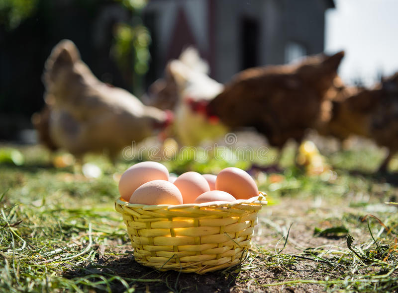 Fresh organic eggs in the basket. Hens in the background stock photography