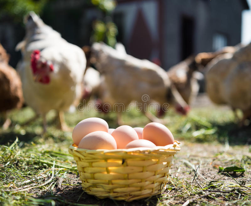 Fresh organic eggs in the basket. Hens in the background royalty free stock photos