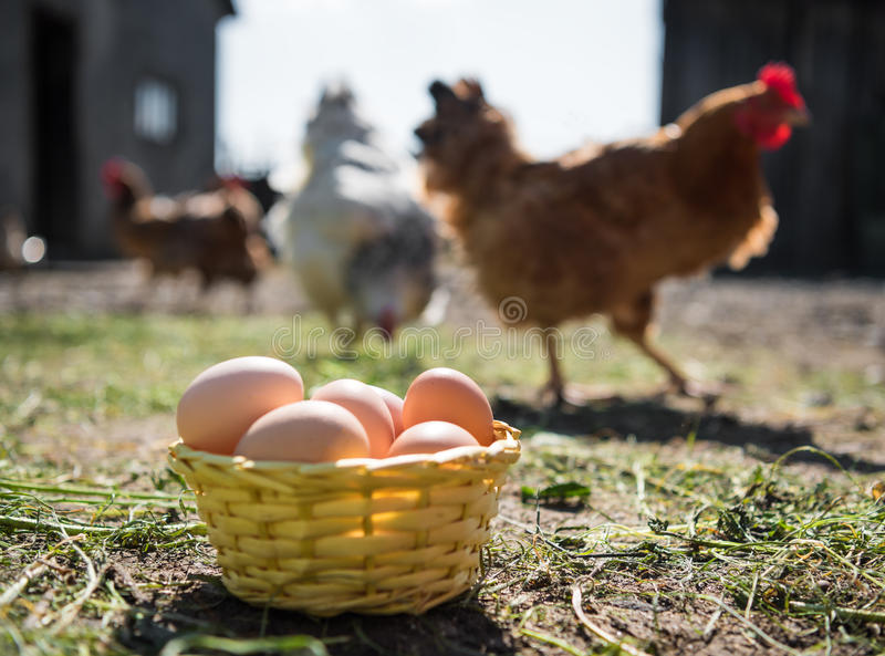 Fresh organic eggs in the basket. Hens in the background royalty free stock photography