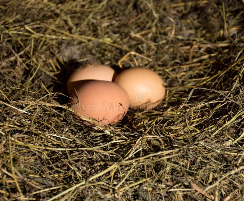 Fresh organic eggs. In hay nest royalty free stock photos