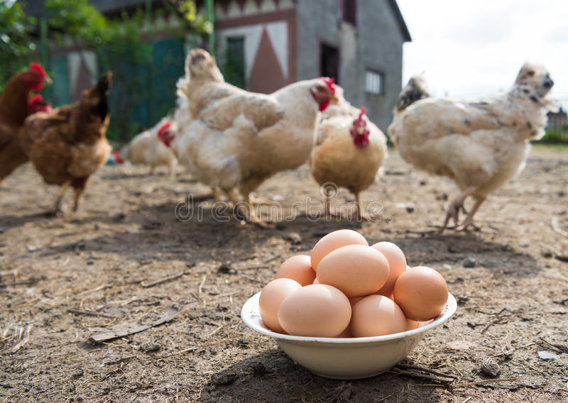 Fresh organic eggs in the plate. Hens in the background stock image
