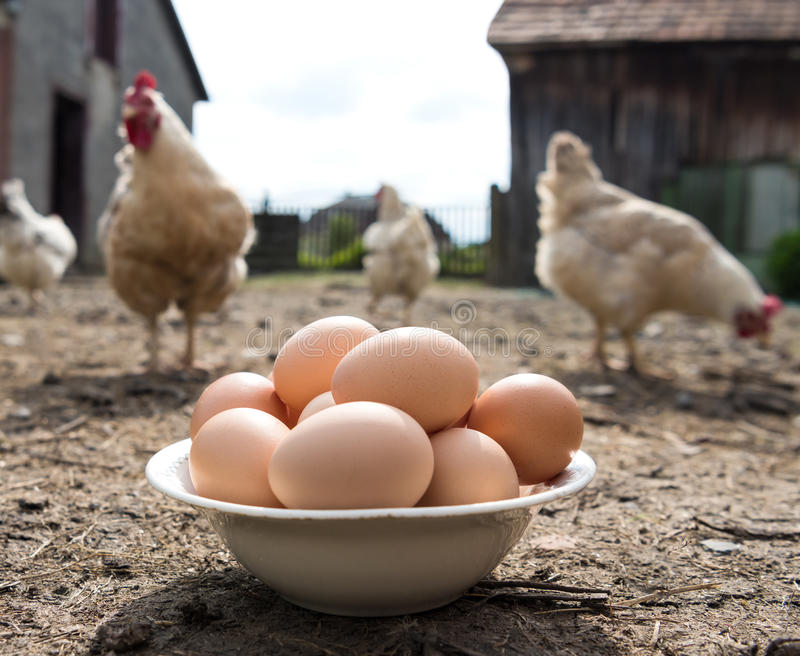Fresh organic eggs in the plate. Hens in the background royalty free stock photography