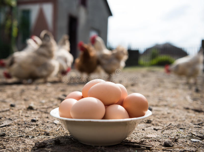Fresh organic eggs in the plate. Hens in the background royalty free stock photo