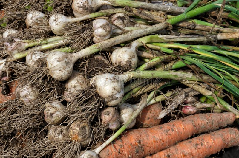 Fresh garlic and carrots with stalks just dug from the ground. unwashed vegetables. big crop royalty free stock photography