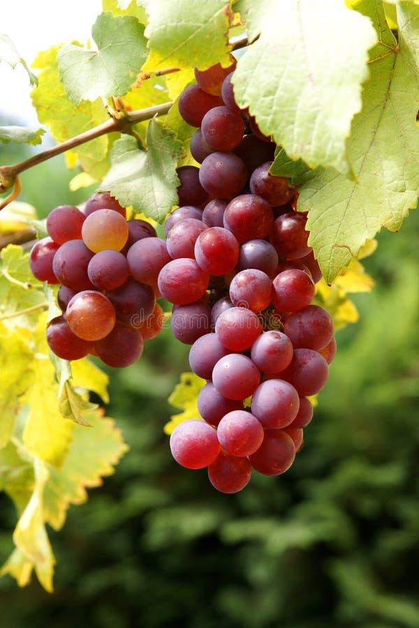 Fresh organic grapes stock photos