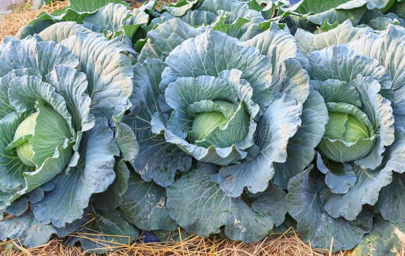 Fresh organic green big cabbage vegetables salad in farm for health, food and agriculture concept design stock images