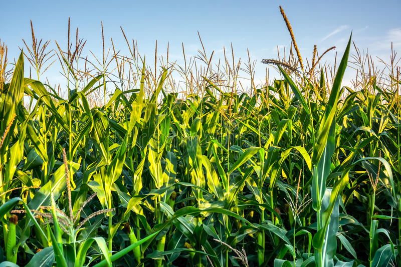 Fresh organic green corn growing up on field against blue sky. Natural corn with golden flowers grow in rows below sun stock photography