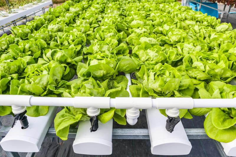 Green leaves lettuce salad plant in hydroponics vegetables farm system stock images