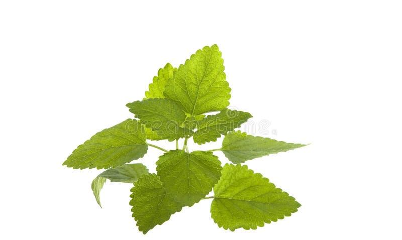 Fresh organic green mint isolated on white stock image