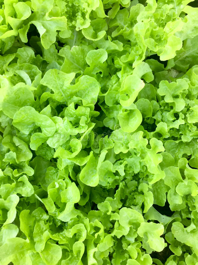 Fresh organic green oak leaf lettuce salad vegetable farm. raw healthy veggies natural food background. top view royalty free stock image