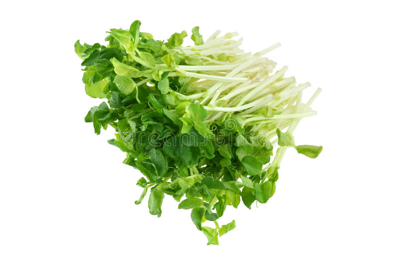 Download Fresh Organic Green Peas Sprouts Stock Photo - Image: 26651974