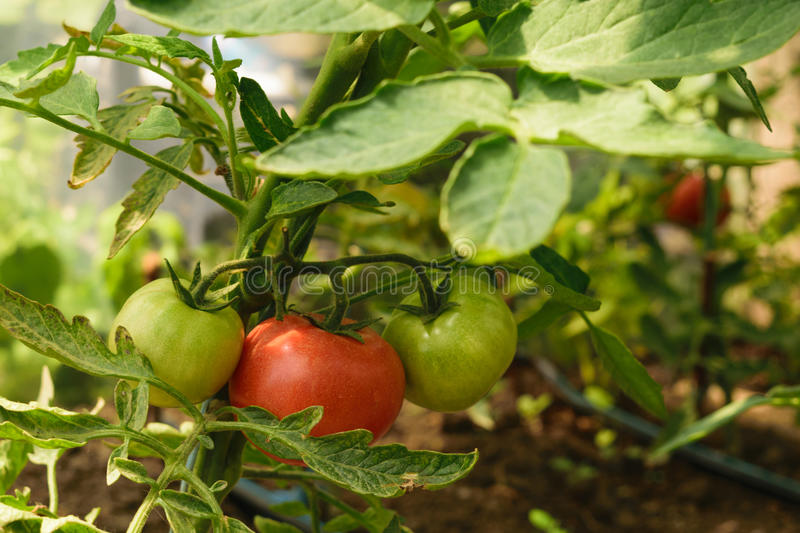 Fresh organic green unripe tomato and red ripe tomato on the same plant - Solanum lycopersicum. Glasshouse agriculture garden royalty free stock photography