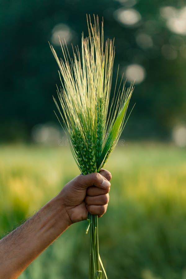 Fresh organic green wheat ear in crop field. Indian farmer with fresh organic green wheat ear in crop field stock photos