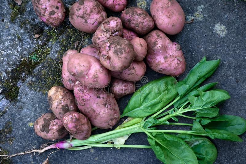 Fresh organic home grown vegetables. Produce harvested from vegetable patch, potatoes and spinach stock photography