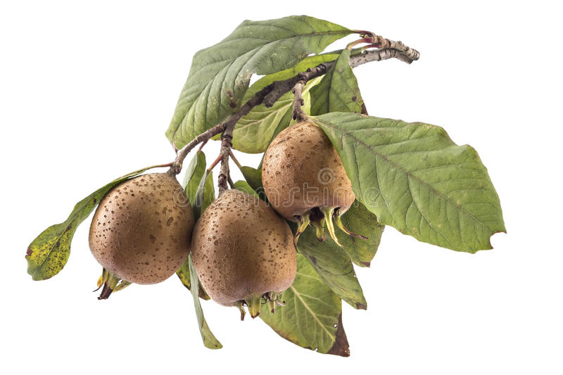 Fresh organic medlars stock photo