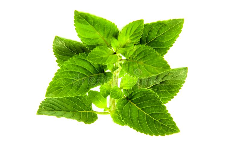 Fresh organic mint plant leaves. Isolated in white background mint or Mentha is a genus of plants in the family Lamiaceae. It is estimated that 13 to 18 species stock photography