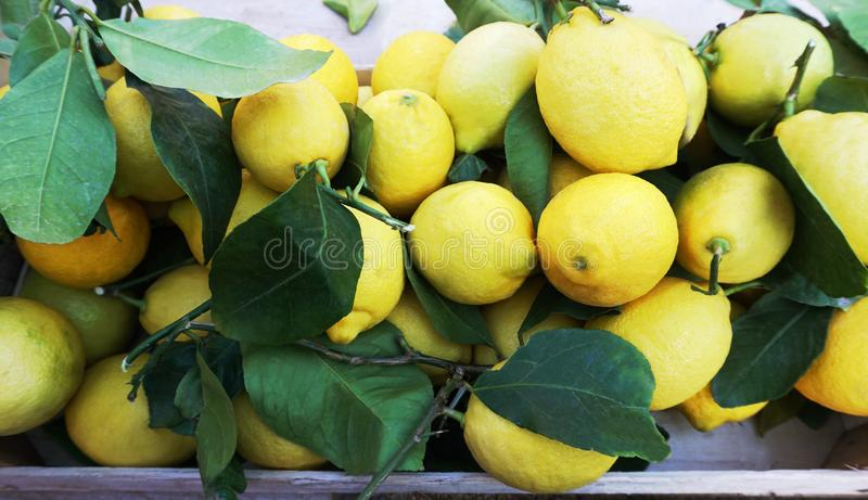 Fresh organic and natural lemon with leaves on market desk, top view. Fresh organic and natural lemon with leaves on market desk. Latin name this fruit is Citrus royalty free stock image