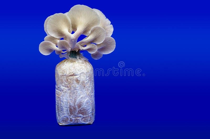 Fresh organic Phoenix mushroom [Indian Oyster] growing on soil in plastic bag. Fresh angel mushrooms growing.on blue background. Agriculture, believed, button stock photos