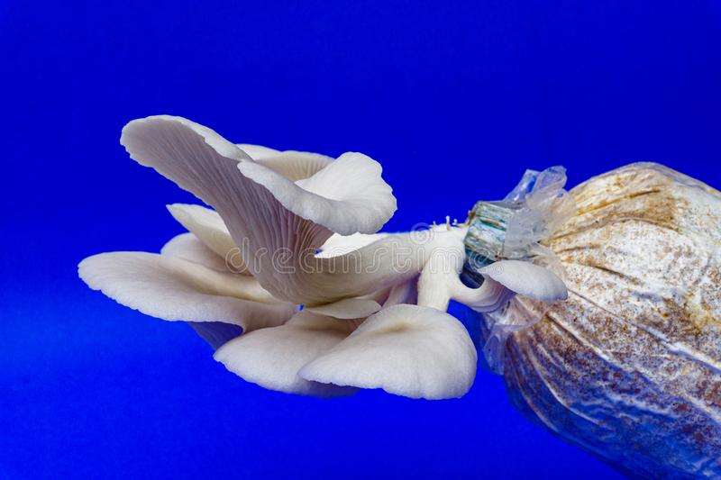 Fresh organic Phoenix mushroom [Indian Oyster] growing on soil in plastic bag. Fresh angel mushrooms growing.on blue background. Agriculture, believed, button stock photography