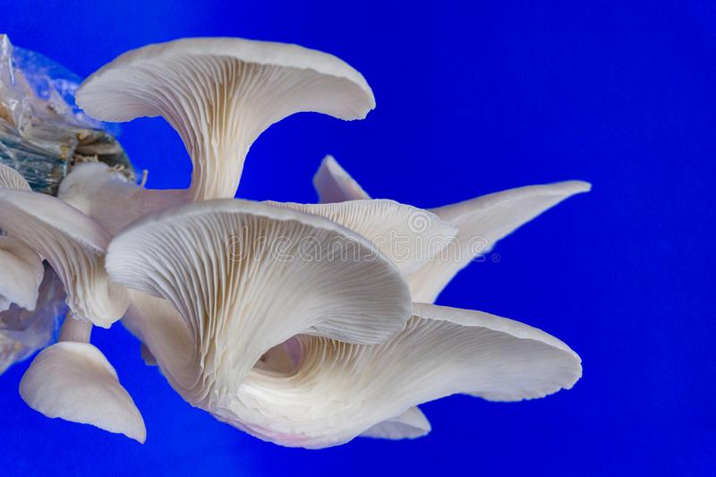 Fresh organic Phoenix mushroom [Indian Oyster] growing on soil in plastic bag. Fresh angel mushrooms growing.on blue background. Agriculture, believed, button royalty free stock photos