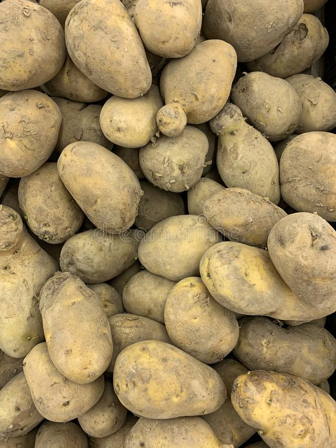 Fresh organic potato stand out among many large background potatoes in the market. Heap of potato root. Close-up potatoes texture royalty free stock photo