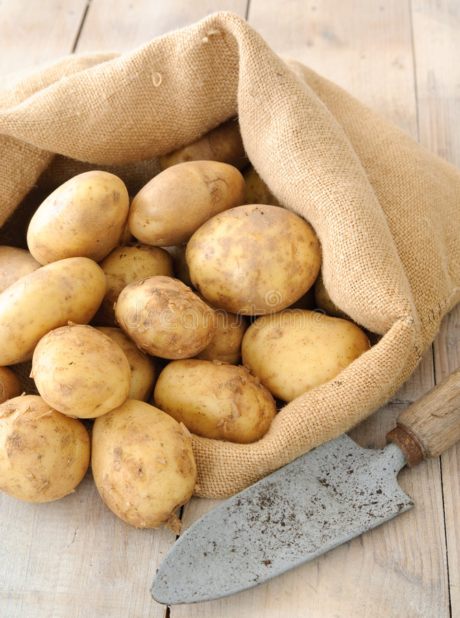 Fresh Organic Potatoes. Freshly dug organic potatoes with trowel stock photos