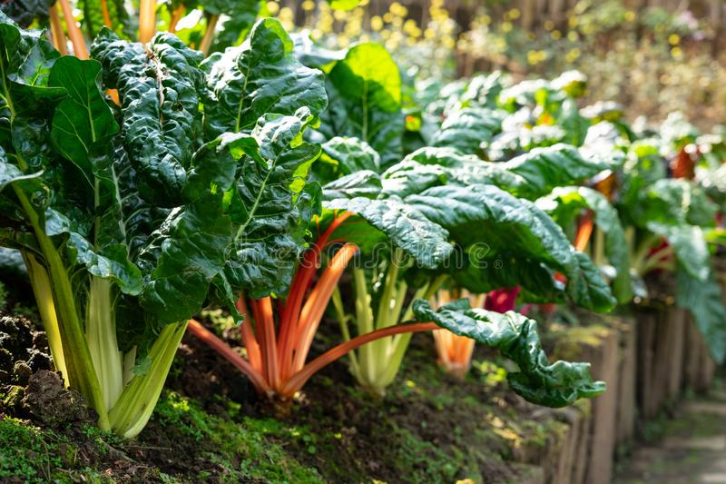 Fresh organic Rainbow Swiss Chard; leafy green vegetable common in Mediterranean cuisine, particularly Italian, it`s featured in stock image