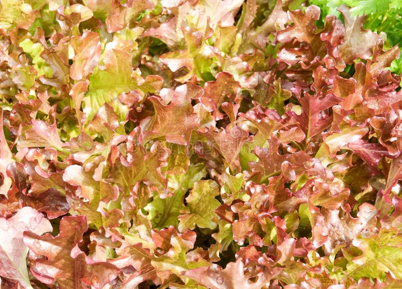 Fresh organic red leaves lettuce salad plant in farm stock images
